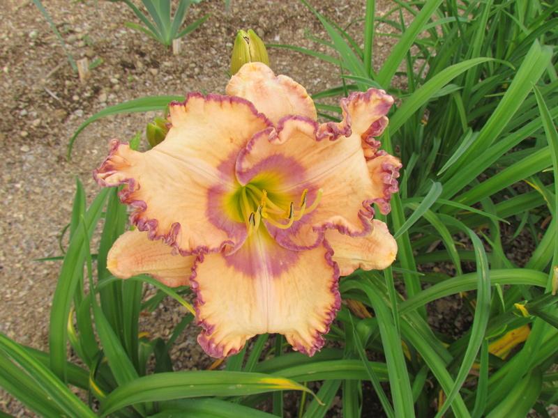 Mes hybrides: Semis 2013 au jardin 13210-10