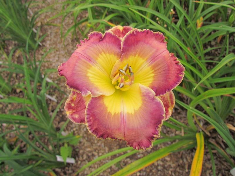Mes hybrides: Semis 2013 au jardin 13236-10
