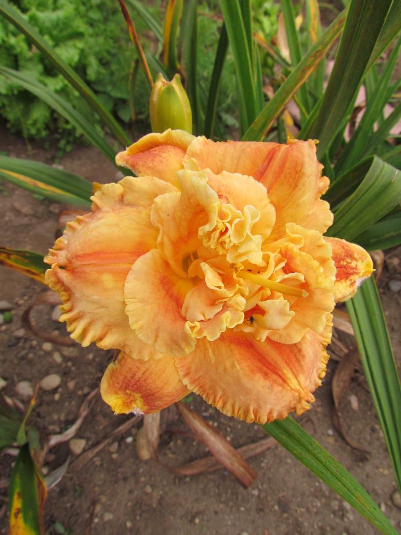 Mes hybrides: Semis 2013 au jardin 13488-11
