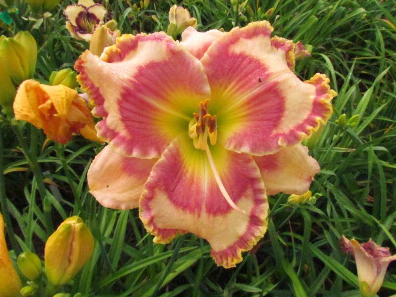 Mes hybrides: Semis 2013 au jardin 13594-10
