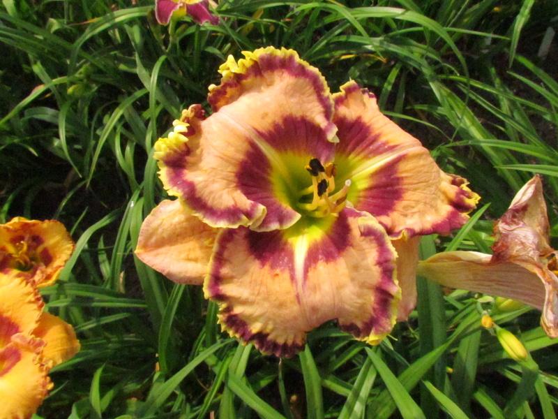 Mes hybrides: Semis 2013 au jardin 13595-10