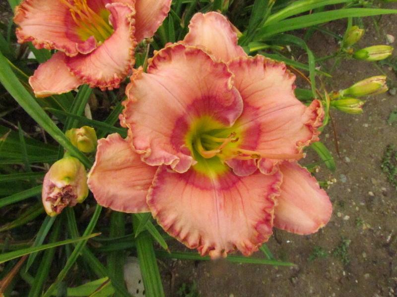 Mes hybrides: Semis 2013 au jardin 13639-10