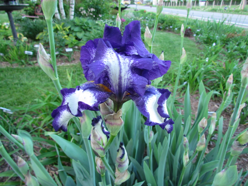 Ma collection d'iris 15-cro10