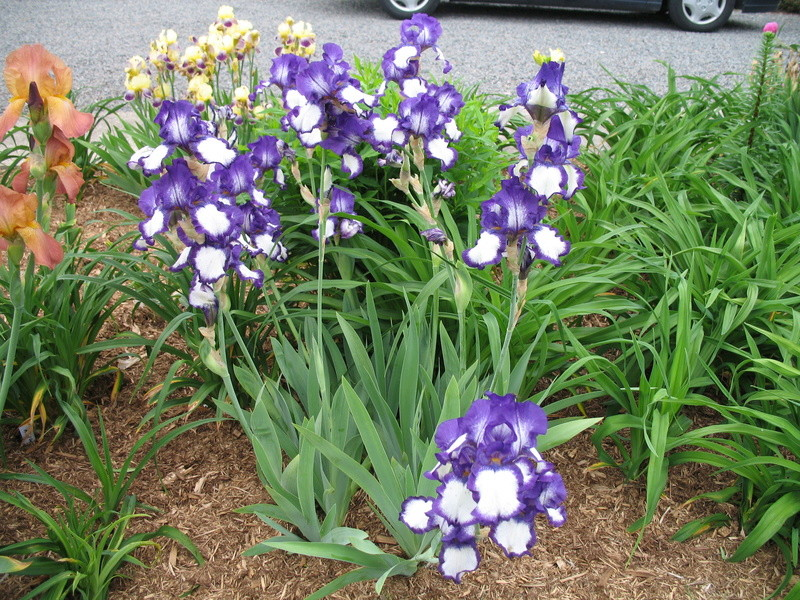 Ma collection d'iris 15-cro11