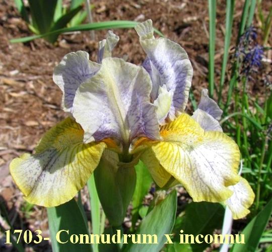 Résultats de mes hybridations d'Iris de 2011 à ... 1703_p10