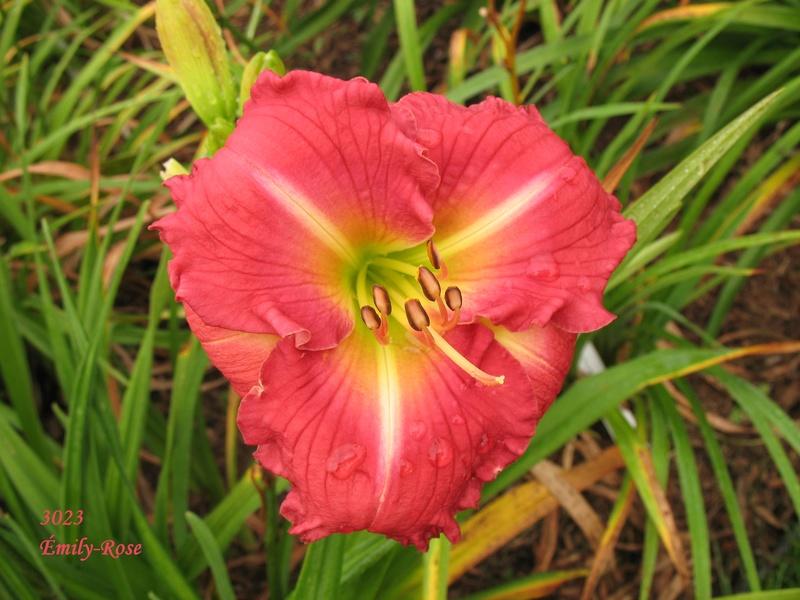 Mes hybrides:  Semis 2001 à 2005 encore au jardin. 3023_e10