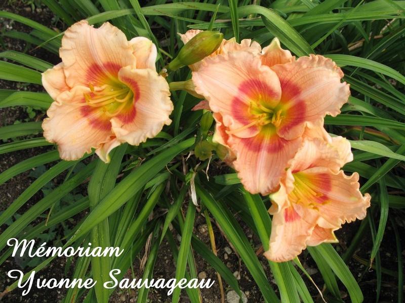 Mes hybrides:  Semis 2001 à 2005 encore au jardin. 3051-010