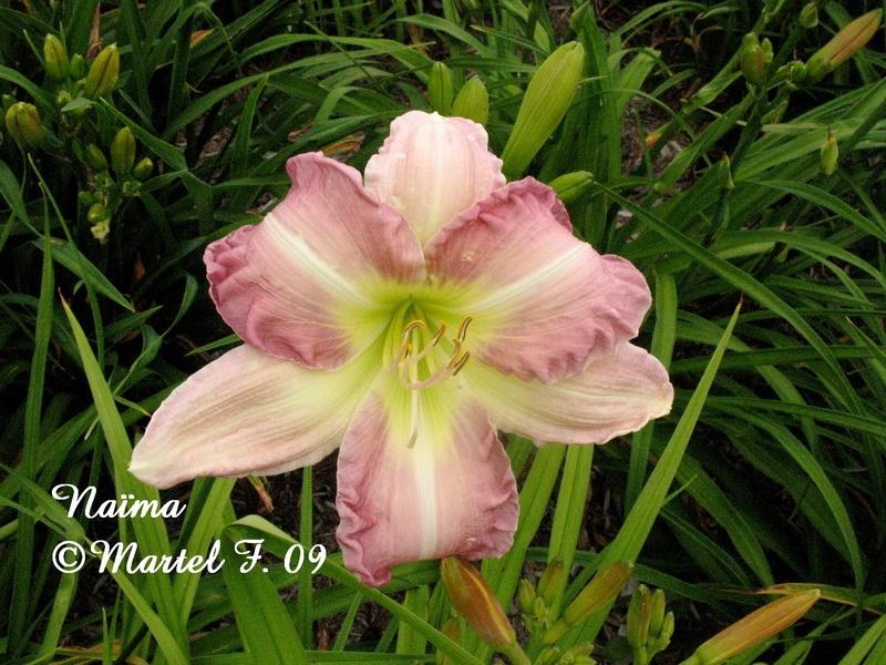 Mes hybrides:  Semis 2001 à 2005 encore au jardin. 3077-010
