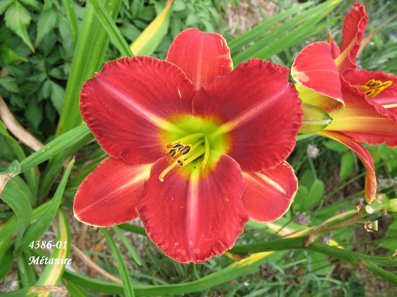 Mes hybrides:  Semis 2001 à 2005 encore au jardin. 4386-010