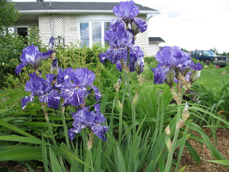 Ma collection d'iris 5-bati10