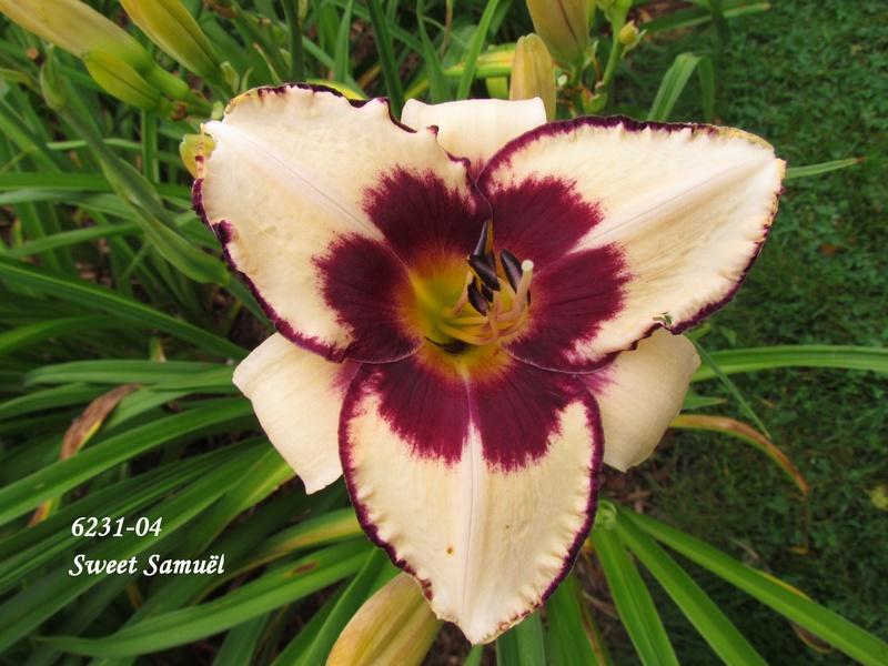 Mes hybrides: Semis 2006 encore au jardin 6231-010