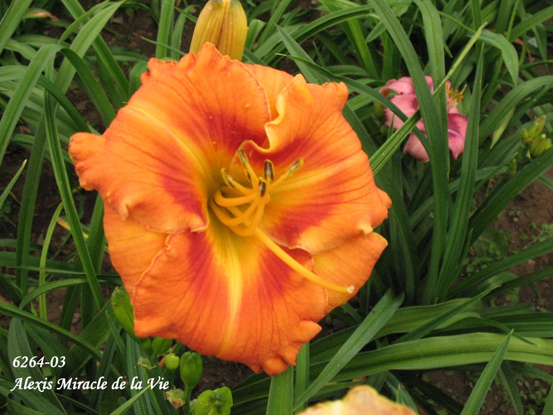 Mes hybrides: Semis 2006 encore au jardin 6264-010