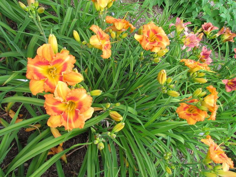 Mes hybrides: Semis 2006 encore au jardin 6264-011