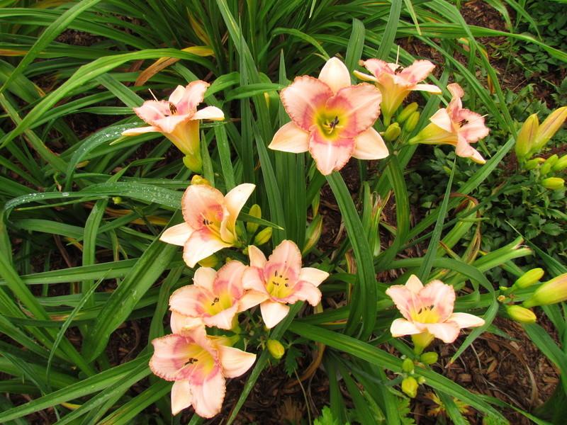 Mes hybrides: Semis 2006 encore au jardin 6517-010