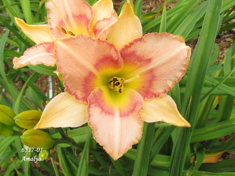 Mes hybrides: Semis 2006 encore au jardin 6517-011