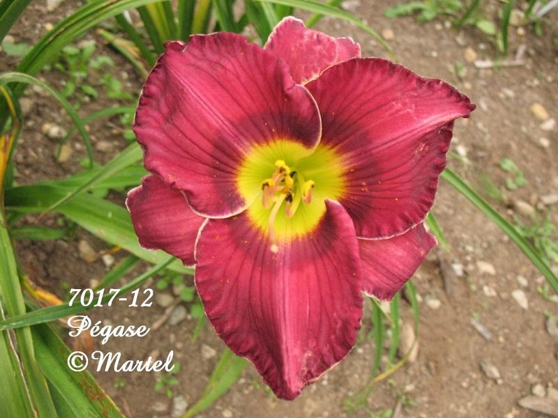 Mes hybrides: semis 2007 encore au jardin. 7017-110