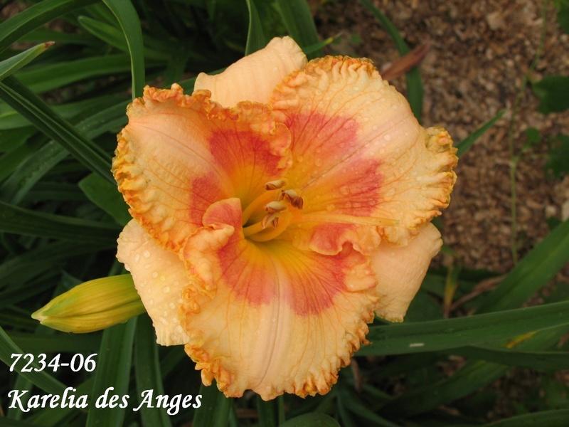 Mes hybrides: semis 2007 encore au jardin. 7234-010