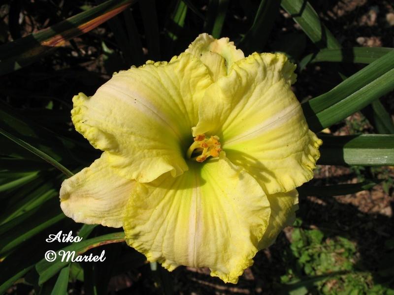 Mes hybrides: semis 2007 encore au jardin. 7237-010