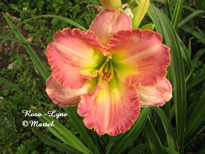 Mes hybrides: semis 2007 encore au jardin. 7268-010