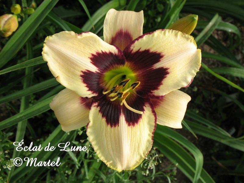Mes hybrides: semis 2007 encore au jardin. 7299-010