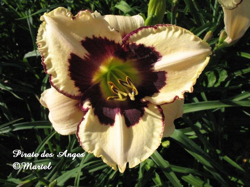 Mes hybrides: semis 2007 encore au jardin. 7299-110