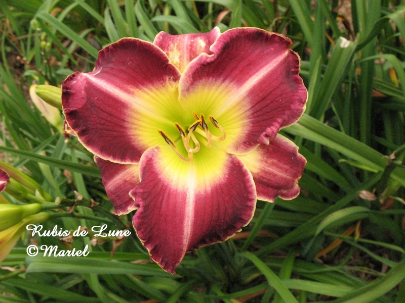 Mes hybrides: semis 2007 encore au jardin. 7420-010