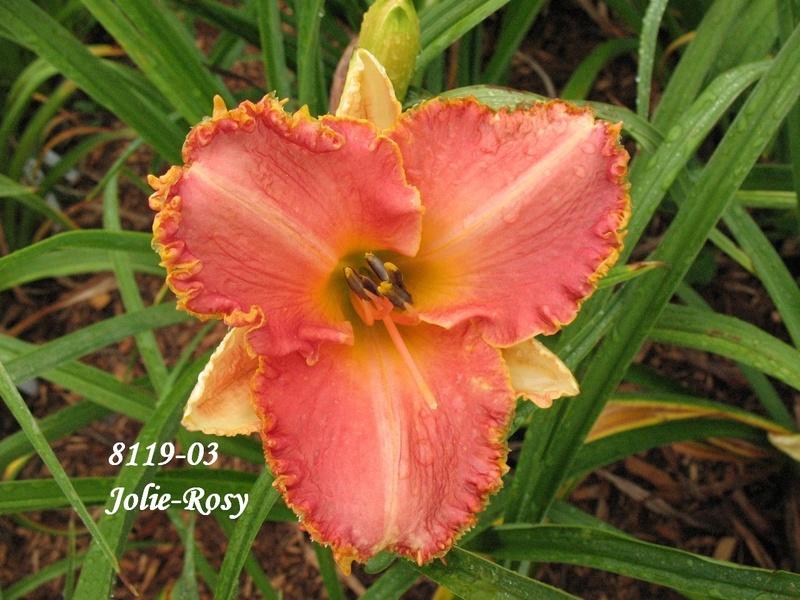Mes hybrides: semis 2008 encore au jardin. 8119-010