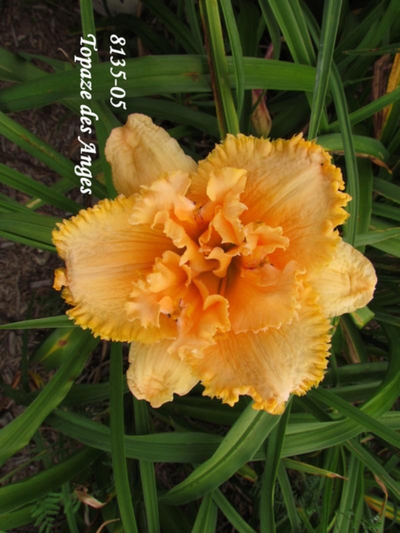 Mes hybrides: semis 2008 encore au jardin. 8135-010