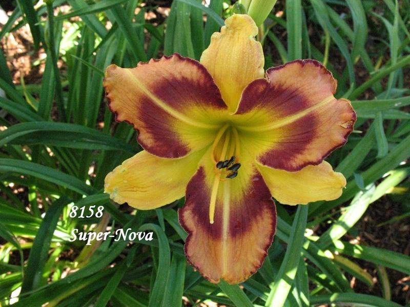 Mes hybrides: semis 2008 encore au jardin. 8158_a10