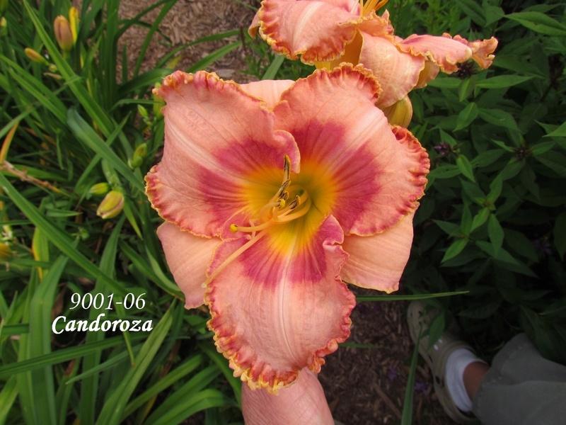 Mes hybrides: semis 2009 encore au jardin. 9001-010