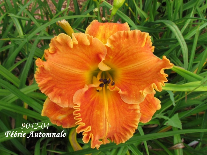 Mes hybrides: semis 2009 encore au jardin. 9042-010