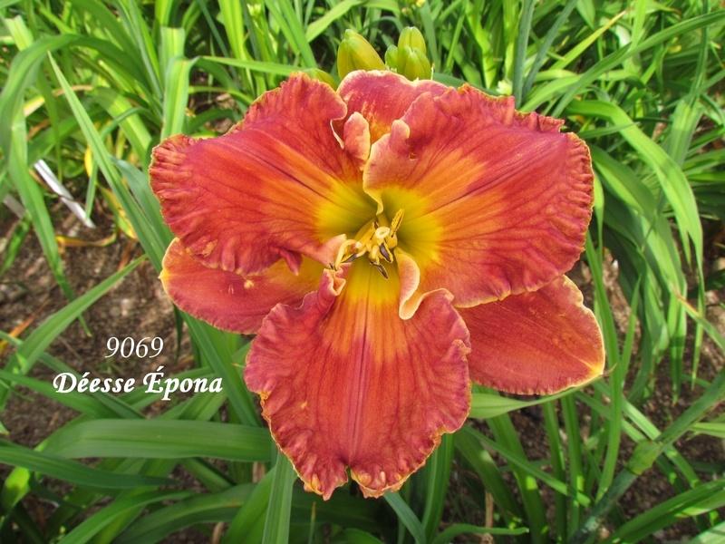 Mes hybrides: semis 2009 encore au jardin. 9069_d10