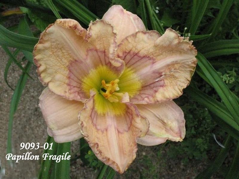 Mes hybrides: semis 2009 encore au jardin. 9093-010