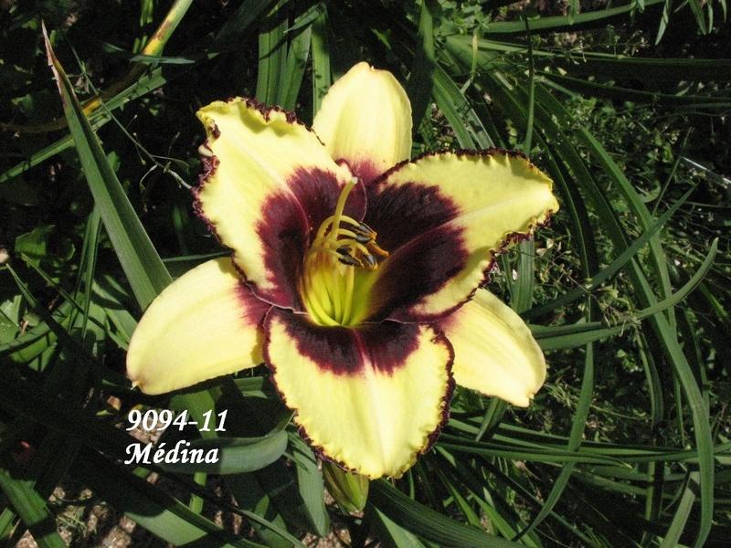 Mes hybrides: semis 2009 encore au jardin. 9094-110