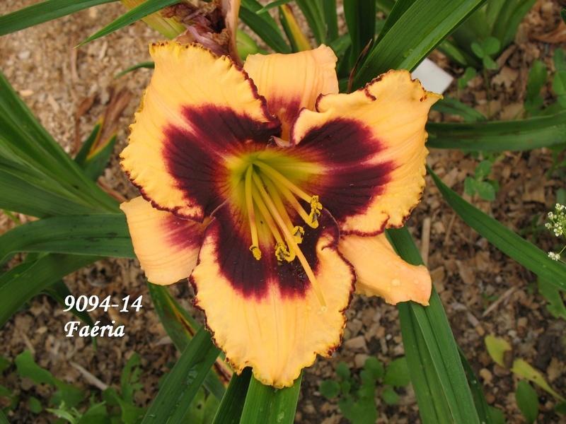 Mes hybrides: semis 2009 encore au jardin. 9094-111
