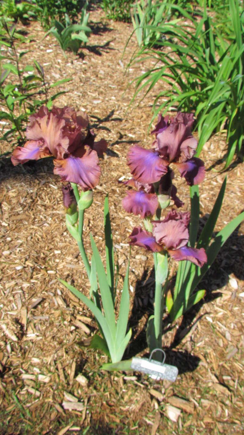 Ma collection d'iris I_arc_10