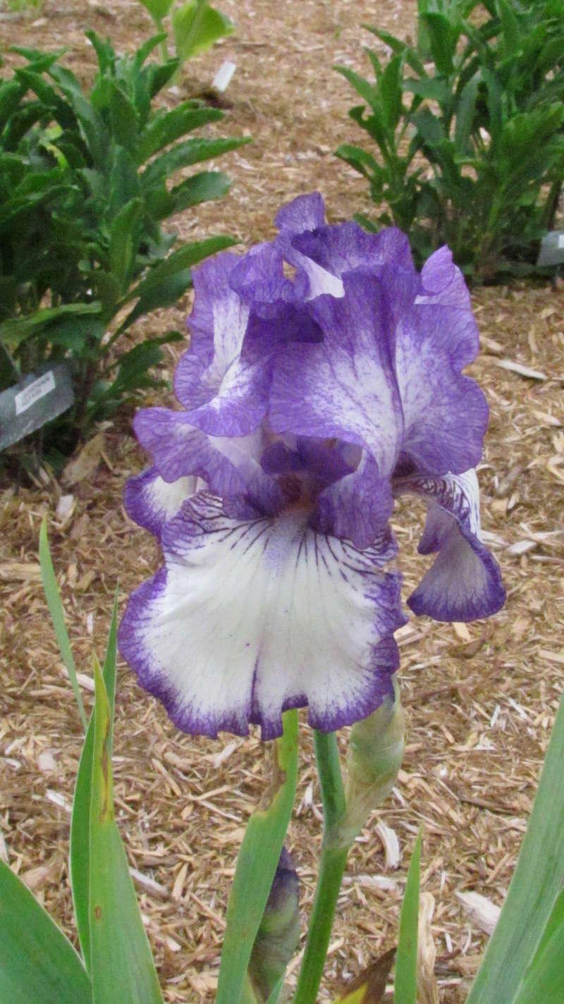 Ma collection d'iris I_autu10