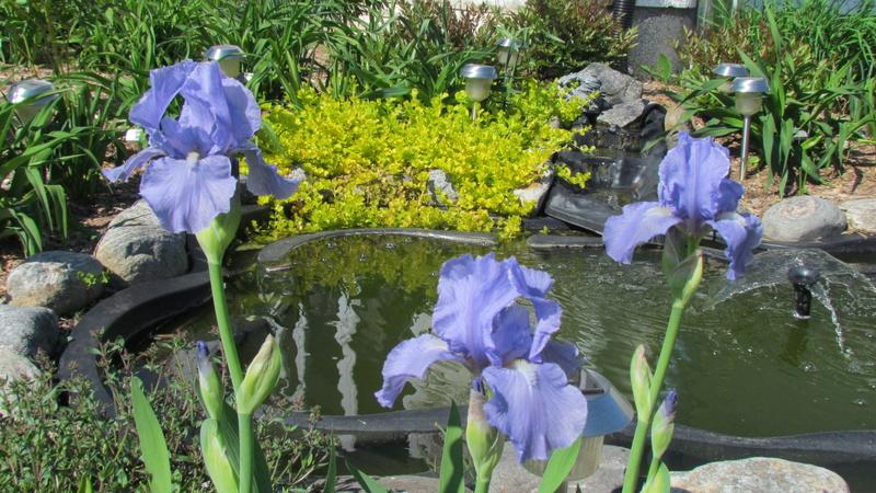 Ma collection d'iris I_bleu11