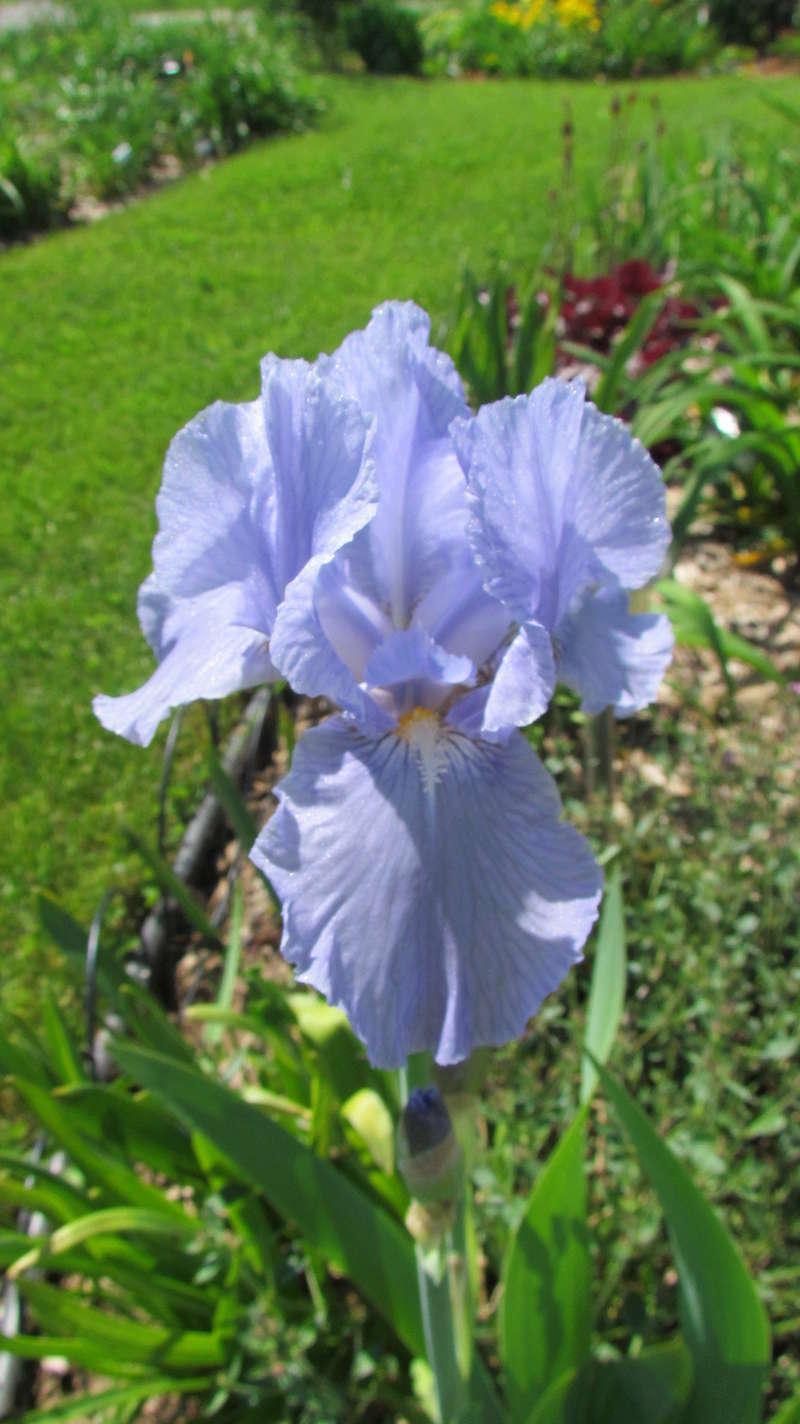 Ma collection d'iris I_bleu12