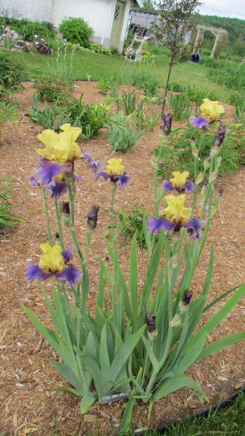 Ma collection d'iris - Page 3 I_jura10