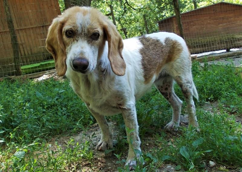 GAUFRETTE - x beagle 8 ans (dont 7 ans de refuge) - Refuge des Clochards Poilus à Tabanac (33) R_gauf10