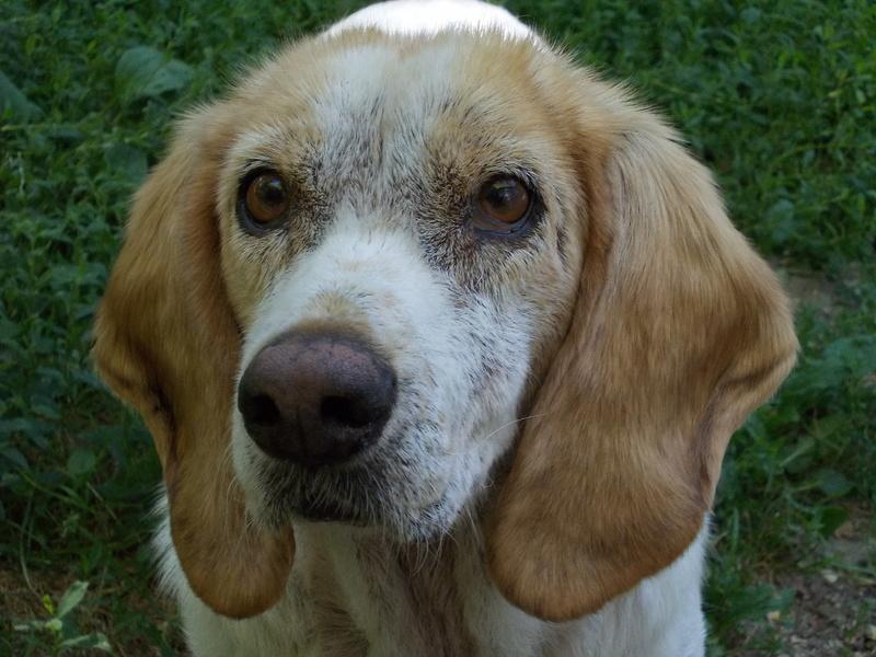 GAUFRETTE - x beagle 8 ans (dont 7 ans de refuge) - Refuge des Clochards Poilus à Tabanac (33) R_gauf11