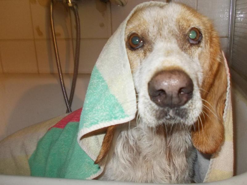GAUFRETTE - x beagle 8 ans (dont 7 ans de refuge) - Refuge des Clochards Poilus à Tabanac (33) R_gauf12
