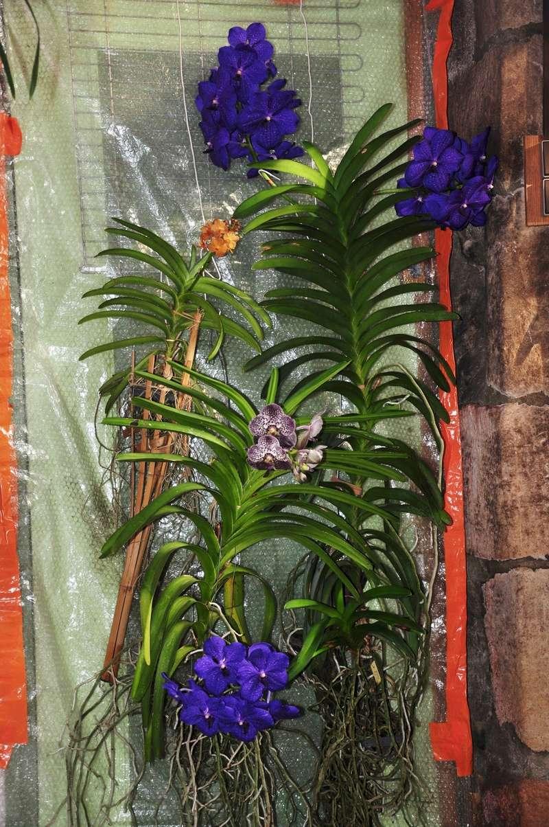 Vanda deuxième floraison de l'année 2017-117