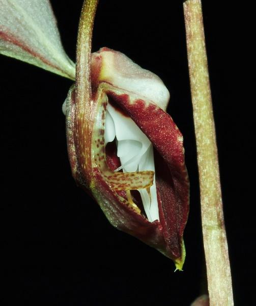 Gongora chocoensis 2 2017-119