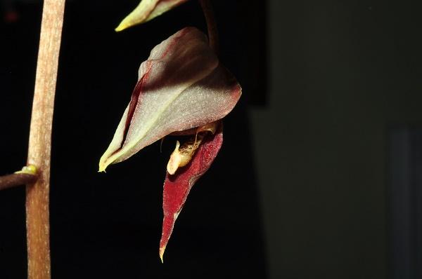 Gongora chocoensis 2 2017-122