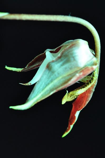 Gongora chocoensis 2 2017-133