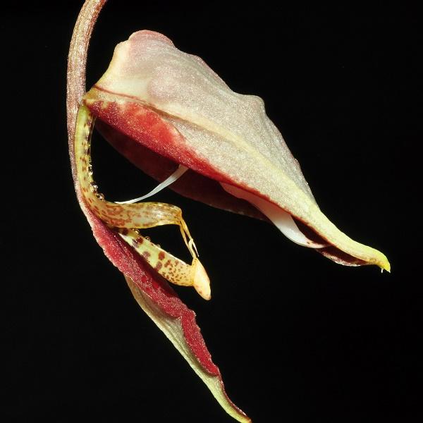 Gongora chocoensis 2 2017-138