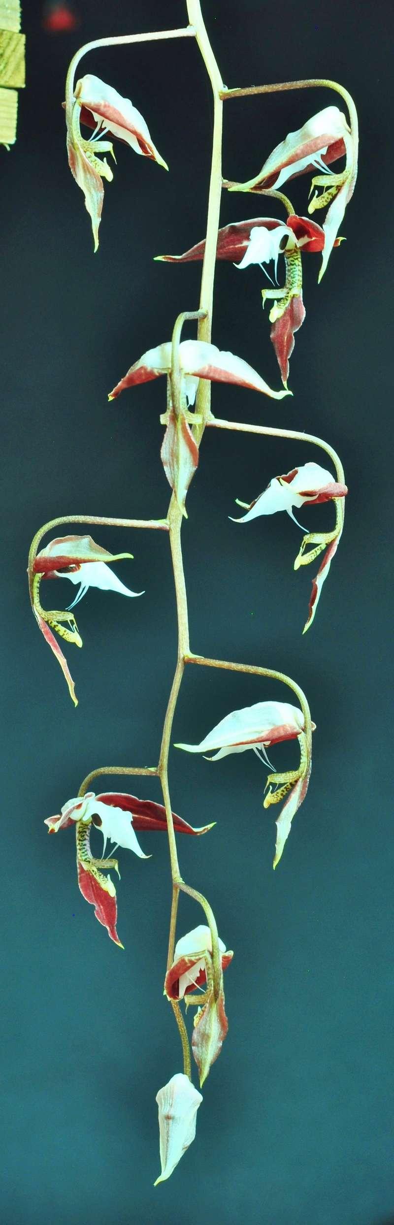 Gongora chocoensis 2 2017-146