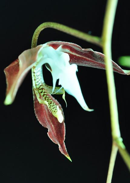 Gongora chocoensis 2 2017-148